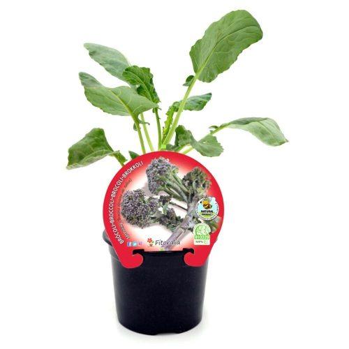 plantel-brocoli-sprouting-eco-cultivo