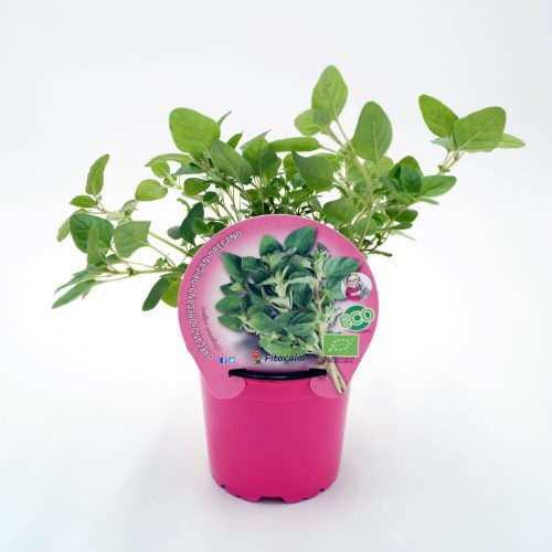 plantel-orégano