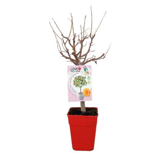 albaricoquero-enano-garden-aprigold-5l-prunus-armeniaca