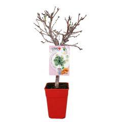 almendro-enano-garden-prince-5l-prunus-dulcis