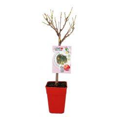 nectarino-enano-garden-beauty-5l-prunus-persica-var-nucipersica