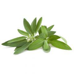 maceta-salvia-planton-de-salvia-6-uds-gama-tradicional