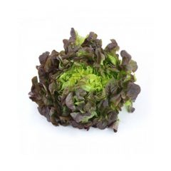 planton-de-lechuga-batavia-roja-6-uds-gama-tradicional